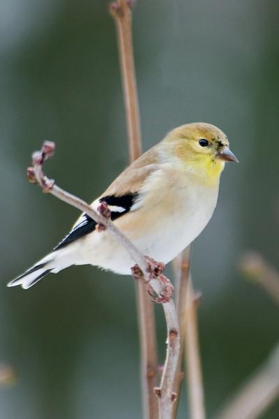 Goldfinch - American - winter - Dunning Lake, MN - 04