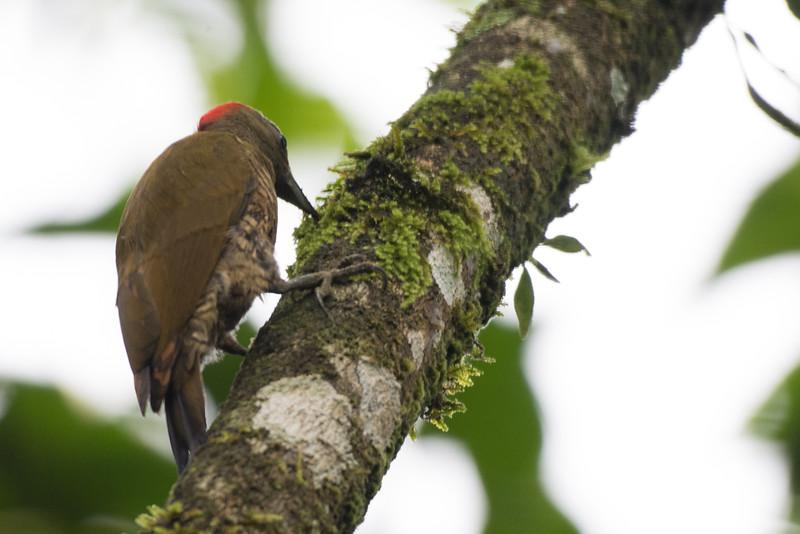 19-Sept Costa Rica Birds-2419.JPG