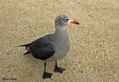 Gull - Heermans Gull