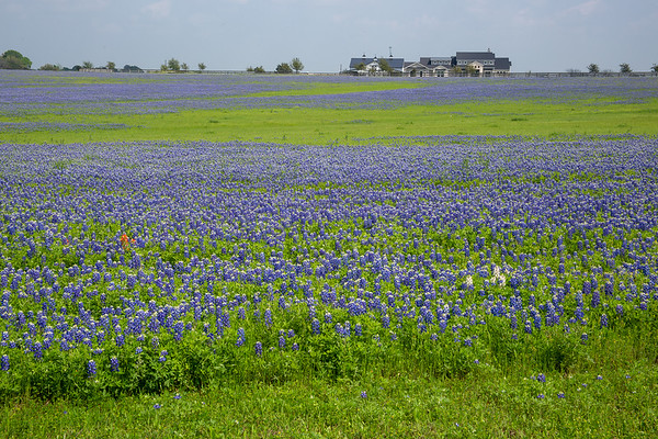 2020 Texas Wildflowers
