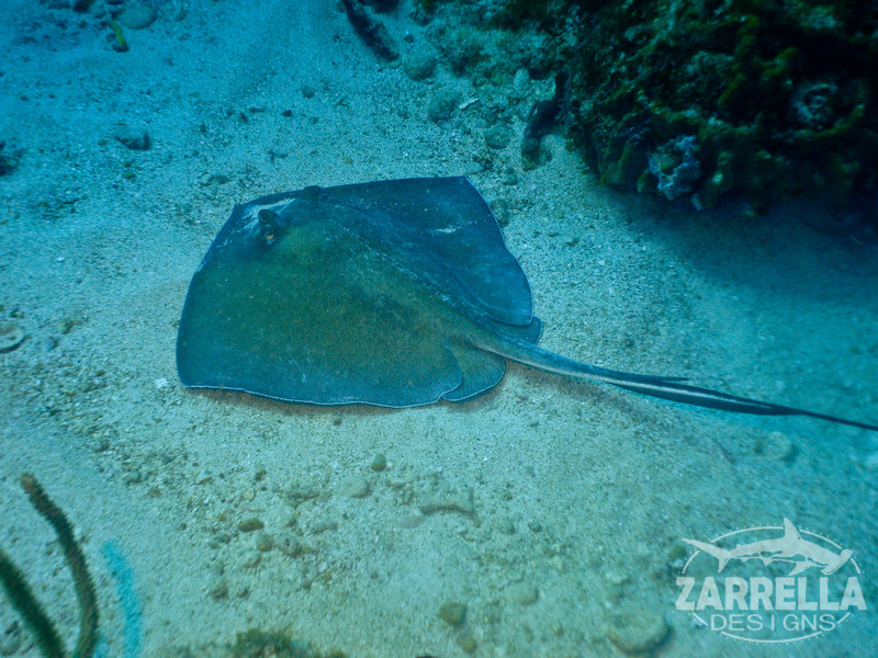 """Stingray"" (Fishbowl Reef, St. Maarten)"