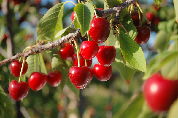 U-Pick Sweet Cherries at Abbott Farms