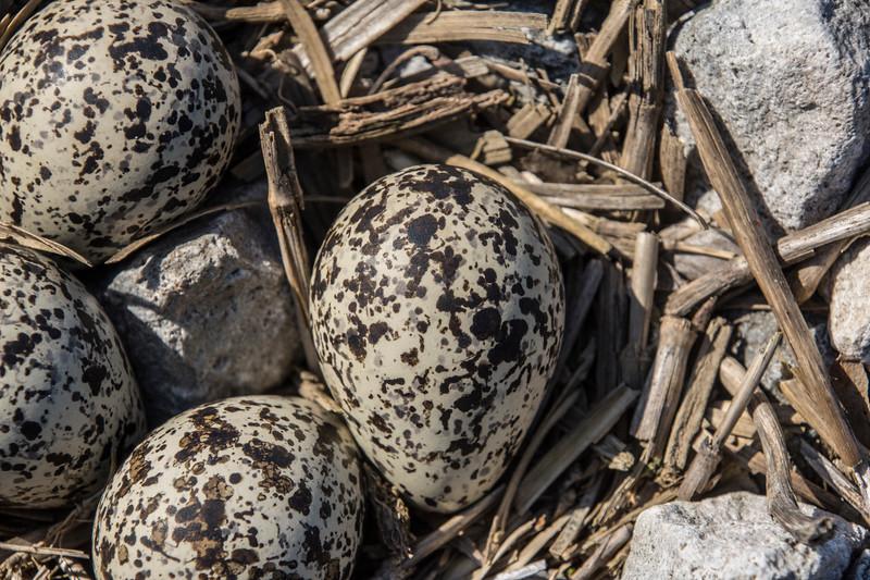 Killdeer-eggs-nest-closeup2-Canton.jpg