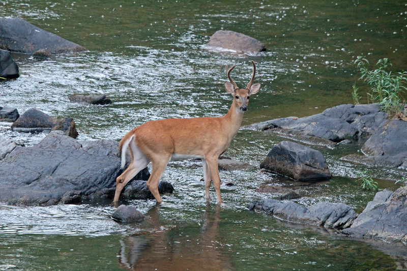 Buck in the Haw River