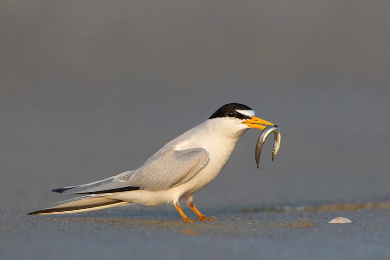 Least tern w fish 2012-06-20_untitled_shoot__L1G2604.jpg