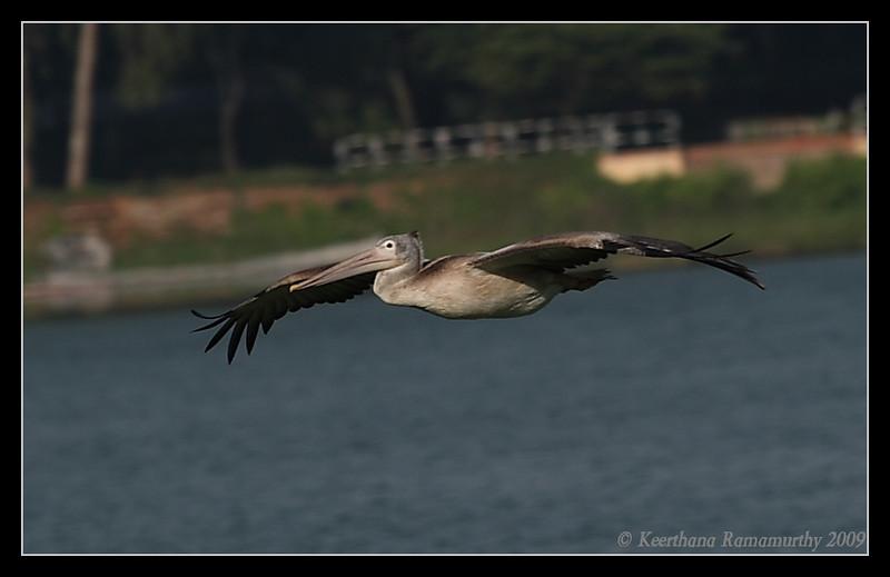 Spot-billed Pelican, Kukkarahalli Lake, Mysore, Karnataka, India, June 2009
