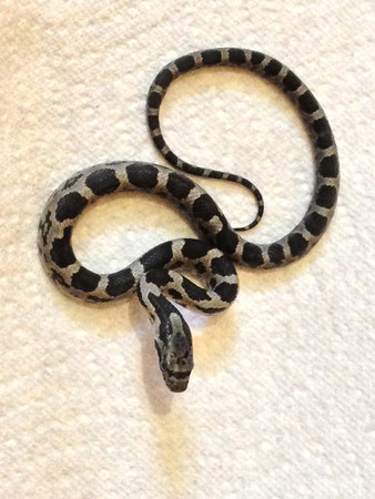 Black Ratsnake WC-01