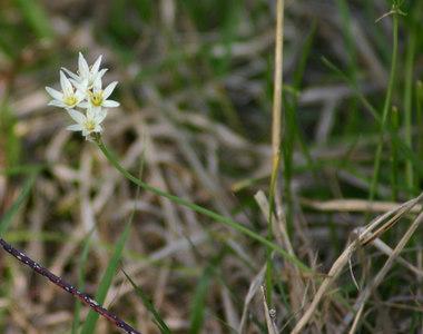 Allium bivalve  Hopewell Tract   York County, South Carolina