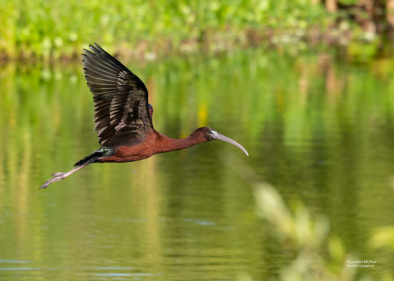 Glossy Ibis, Circle B Bar, Lakeland, FL, USA, May 2018-1.jpg