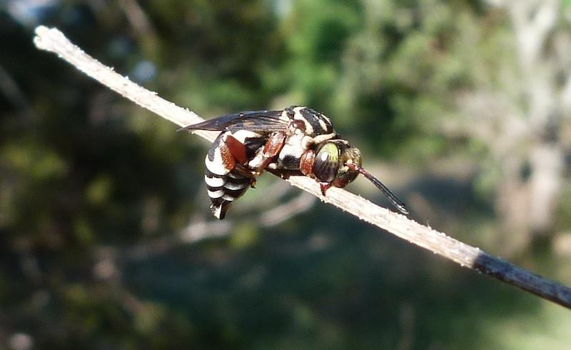 P102TriepeolusSpCuckooBee124 April 28, 2011  9:08 a.m.  P1020124 Triepeolus Cuckoo Bee at LBJ WC, sleeping on grass stem.  Apid.