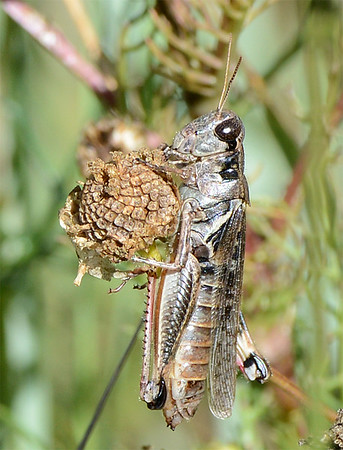 Melanoplus sanguinipes (Migratory Grasshopper)
