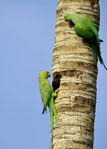 Rose-ringed-parakeet-pair.jpg
