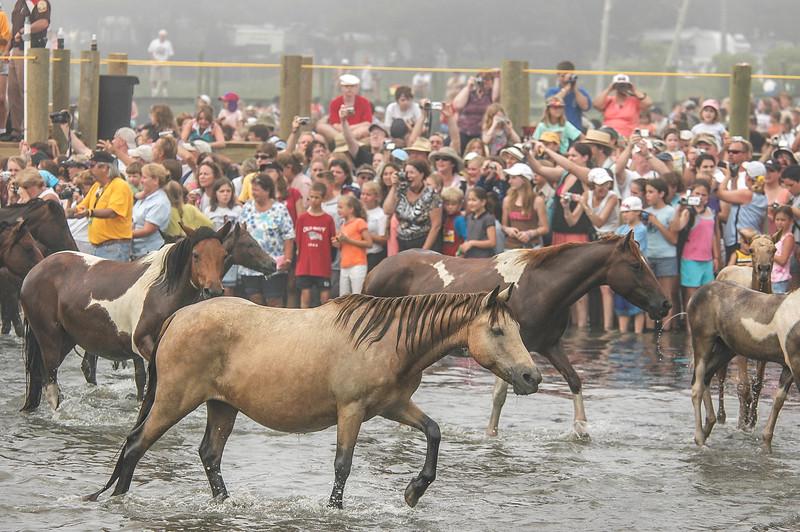 Chincoteague Island Pony Swim #7