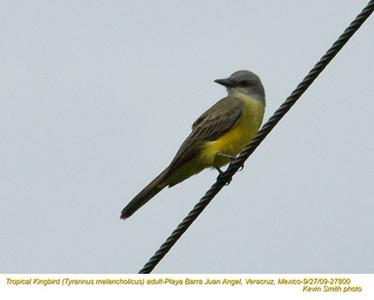 TropicalKingbirdA27800.jpg