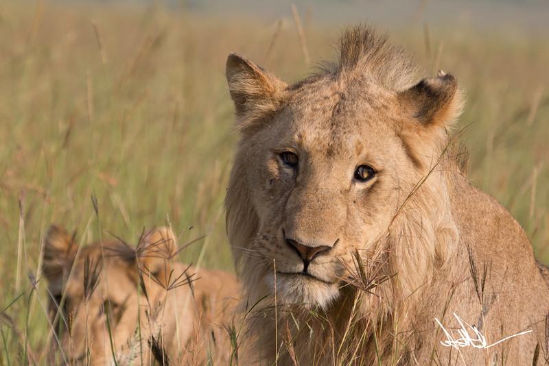Lions Masai Mara - S-6.jpg