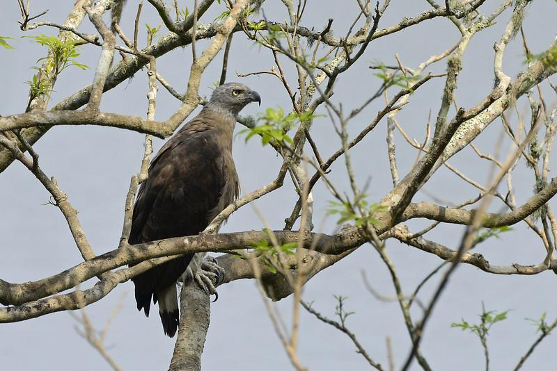 Grey-headed-fish-eagle.jpg