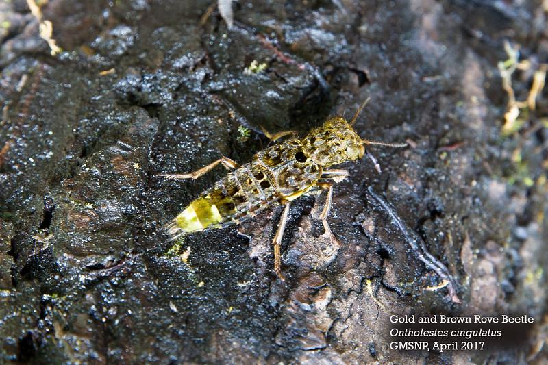 Rove Beetle.jpg