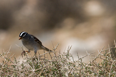 The White-Crowned Sparrow, Keys View