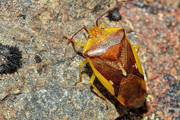 Shield Bugs (Acanthosomatidae)