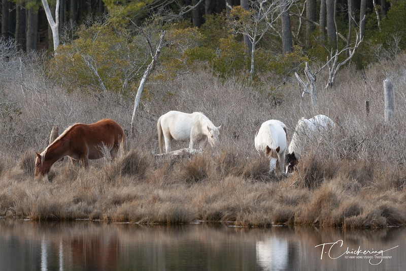 Chincoteague Ponies Two - Copy.jpg