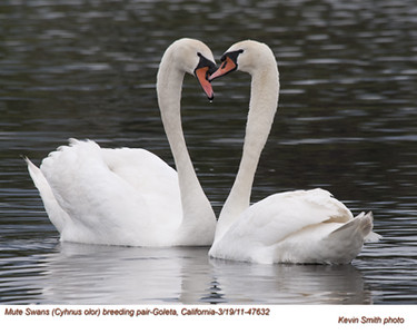 Swans, Geese, Ducks