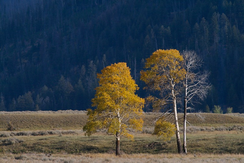 Quaking Aspens in the Lamar Valley [September; Yellowstone National Park, Wyoming]