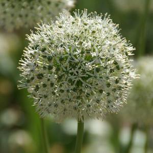 Allium stip. 'White Giant' close-up.jpg