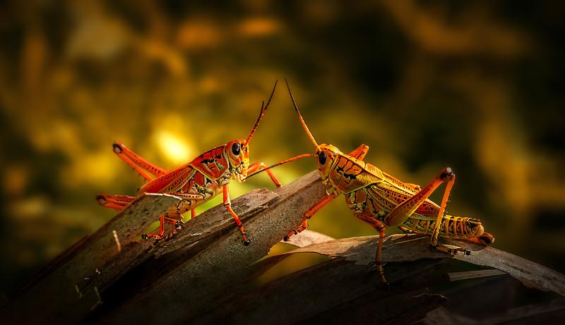 Grasshoppers 112.jpg