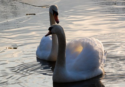 Swans at Duttons pond