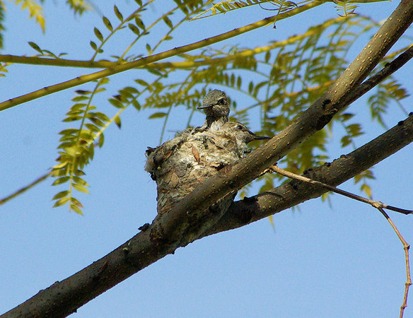 The Pentax K10D Spies a Hummingbird Nest