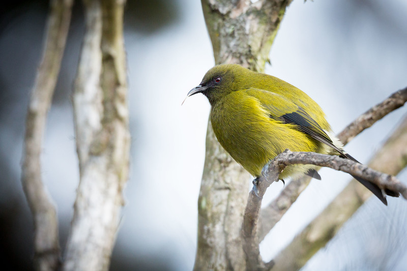 Bellbird sticking out its tongue at Orokonui Ecosanctuary