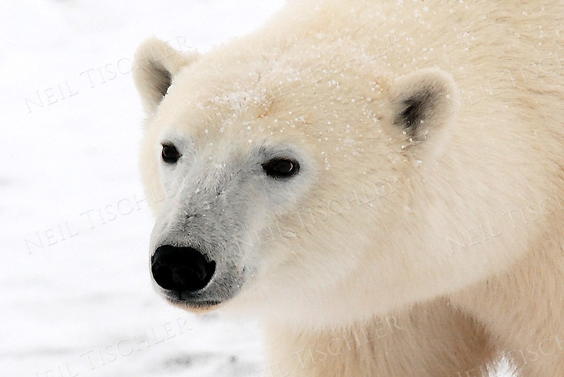 #558  The sniffing bear, now with its eyes open.  Note the black skin of these polar bears that is covered by thin hair tubes that give the bear its off-white overall fur color.