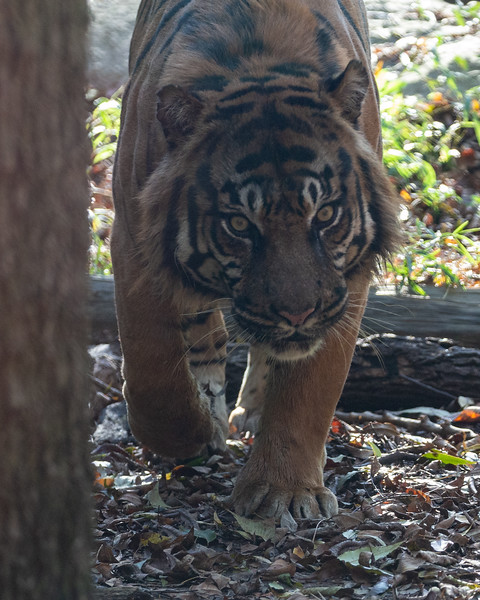 Sumatran tiger Manis