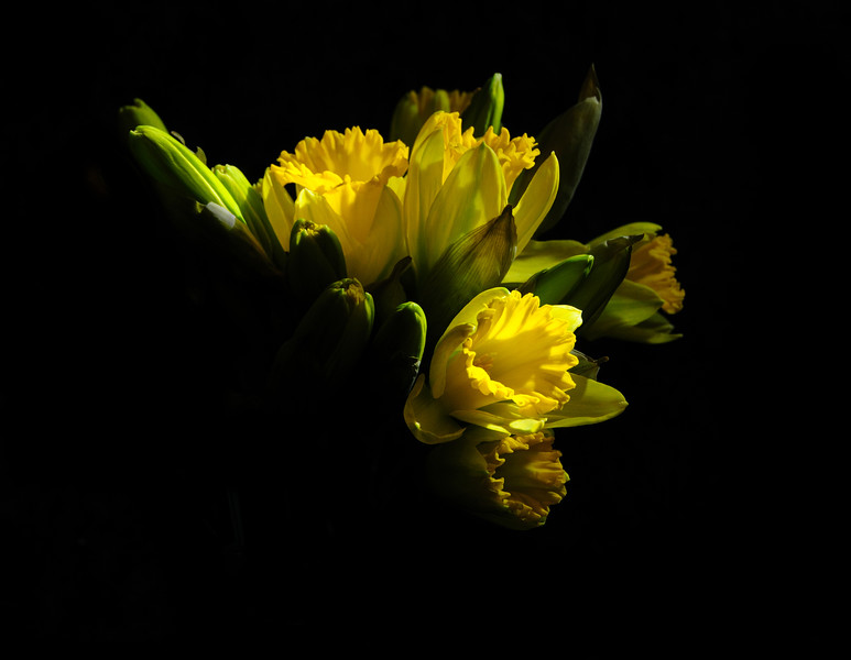 20 Mar 15.  Today's close up is a little different from what I've sent before. Jan has been purchasing bouquets of unopened daffodils which I've been shooting from the closed bud stage through fully opened. This shot is of a mixed grouping, from closed to fully open. With the bouquet standing in a vase sitting against a black backdrop and positioned in a shaft of overhead sunlight,  I used a spot metering approach so as to get only the very brightest petals fully exposed allowing everything else to fall off as did the light. That resulted in the biggest portion of the frame being black, with just some of the flowers brightly lit. Taking this capture into digital editing software, I then removed a lot of the dimmest flowers by painting them out with black. All that remains is a small grouping of the flowers running diagonally across the frame.  The base image was cropped, and portions painted out with black. Nikon D300s; 18 - 200; Aperture Priority; ISO 200; 1/200 sec @ f / 7.1.