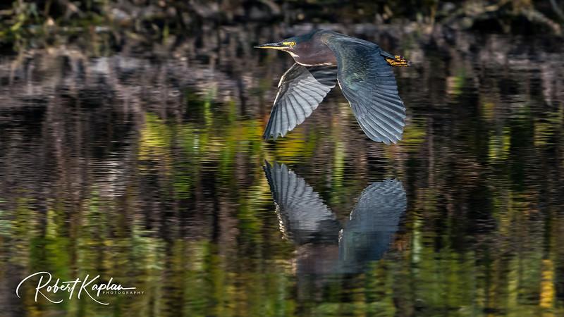 Green Heron-8804.jpg