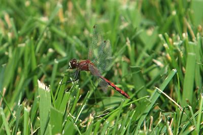 Dragon Flies 24 Sept 2009