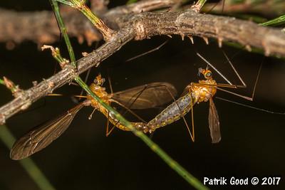 Common Yellow Crane Fly