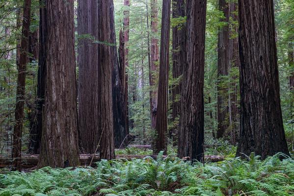 Humboldt Redwoods (2017-07-30)