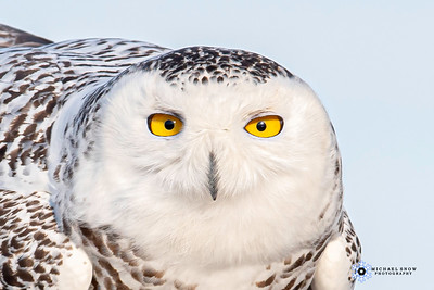 Snowy owl 20-21