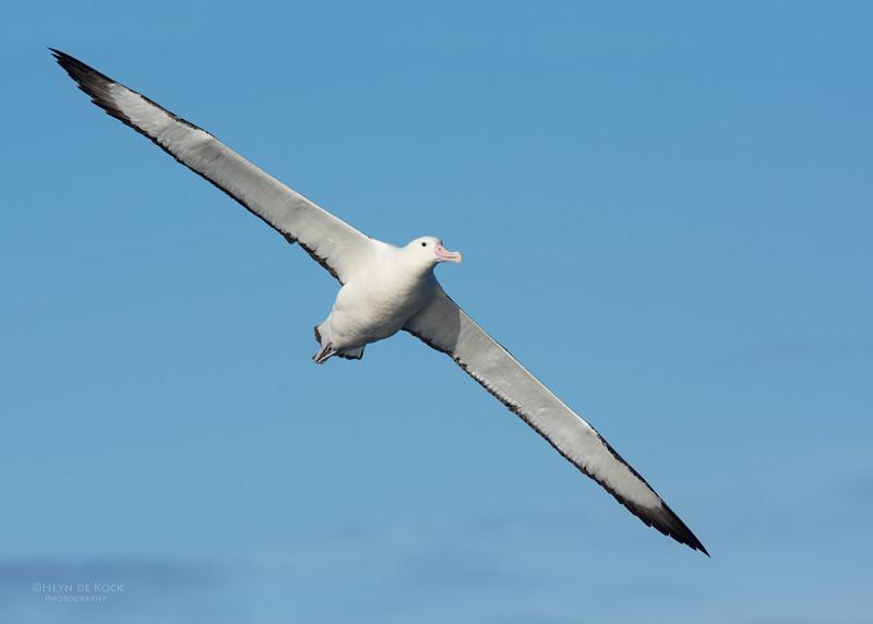 Southern Royal Albatross, Eaglehawk Neck Pelagic, TAS, July 2015-4.jpg