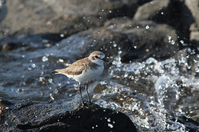 SHORE AND MIGRATORY BIRDS SMALL R
