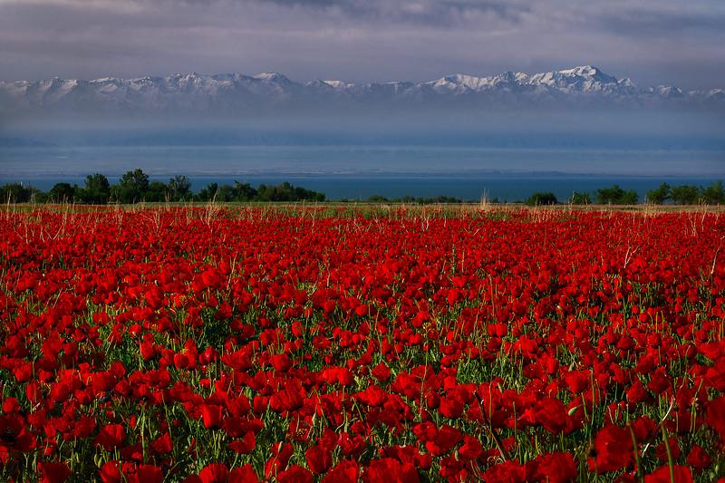 Dawn on a poppy meadow
