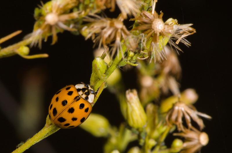 Ladybug and aphid prey.
