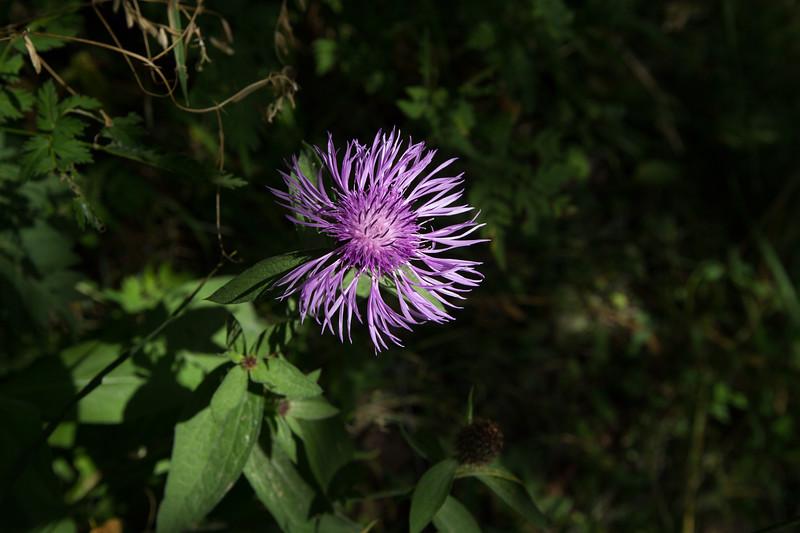 Mulakhi, Centaurea Dealbata