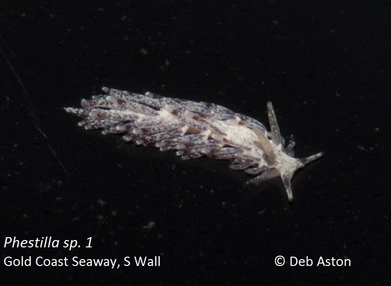 Phestilla sp. 1 Gold Coast Seaway