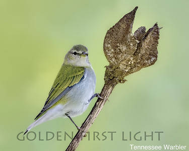 Tennessee Warbler, Costa Rica