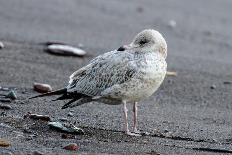 Gull - Ring-billed - juvenile - Little Marais, MN