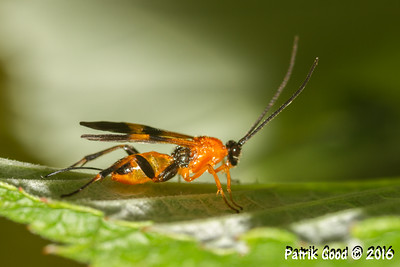 Orange Wing-spot Braconid Wasp