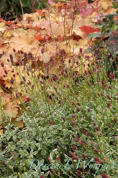 42809 Sanguisorba officinalis var. microcephala 'Little Angel'_2318.jpg