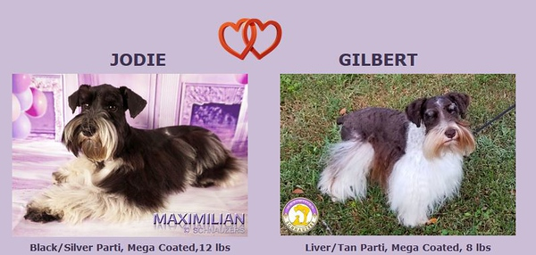 Jodie & Gilber Puppies. DOB 5/01/2019